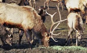 Bull elk, Oak Creek Wildlfie Area photo by JimCummins